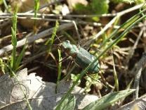 Cicindela campestris - Escarabajo tigre