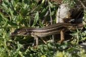 Lagartija colilarga - Psammodromus algirus
