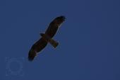 Águila calzada, Aquila pennata