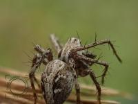 Oxyopes ramosus, Oxyopidae fam