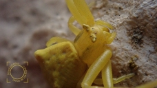 Thomisus onustus, Araña cangrejo